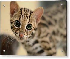 Asian Leopard Cub Acrylic Print by Laura Fasulo