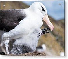 Black-browed Albatross (thalassarche Acrylic Print by Martin Zwick