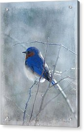 Blue Bird  Acrylic Print by Fran J Scott