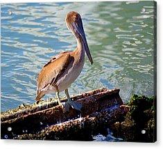 Brown Pelican Acrylic Print by Robert Brown
