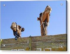 Camels At The Ashgabat Sunday Market In Turkmenistan Acrylic Print by Robert Preston