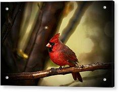 Cardinal Pose Acrylic Print by Karol Livote