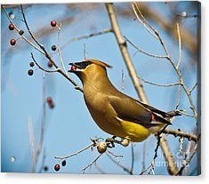 Cedar Waxwing With Berry Acrylic Print by Robert Frederick