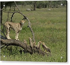 Cheetah  Acinonyx Jubatus Acrylic Print by Carol Gregory