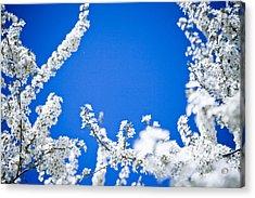 Cherry Blossom With Blue Sky Acrylic Print by Raimond Klavins