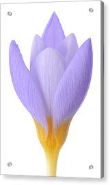 Crocus Acrylic Print by Mark Johnson