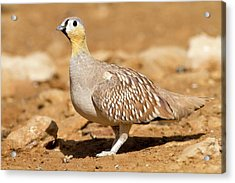 Crowned Sandgrouse Pterocles Coronatus Acrylic Print by Photostock-israel