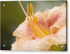 Day Lilly Acrylic Print by Robert Culver