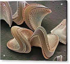 Diatoms, Sem Acrylic Print by Power And Syred