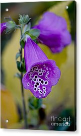 Foxglove Acrylic Print by Ivete Basso Photography
