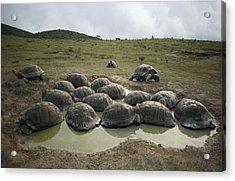 Galapagos Giant Tortoises Wallowing Acrylic Print by Tui De Roy