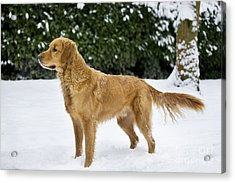 Golden Retriever In Snow Acrylic Print by Johan De Meester