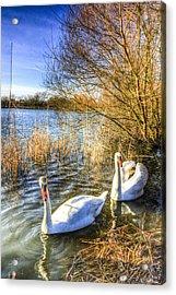 Graceful Swans Acrylic Print by David Pyatt