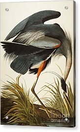 Great Blue Heron Acrylic Print by John James Audubon
