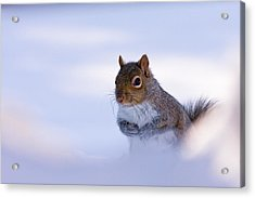Grey Squirrel In Snow Acrylic Print by Jeff Sinon