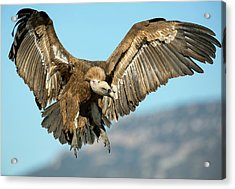Griffon Vulture Flying Acrylic Print by Nicolas Reusens