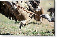 Griffon Vultures Feeding Acrylic Print by Nicolas Reusens