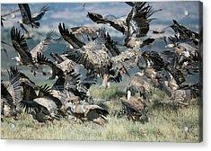 Griffon Vultures Acrylic Print by Nicolas Reusens
