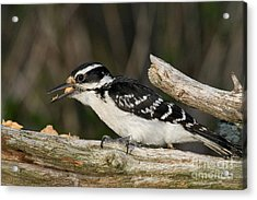 Hairy Woodpecker Acrylic Print by Linda Freshwaters Arndt