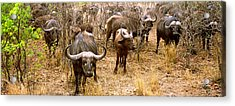 Herd Of Cape Buffaloes Syncerus Caffer Acrylic Print by Panoramic Images