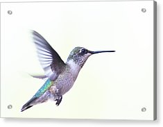 Hummer Acrylic Print by Annette Hugen