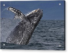 Humpback Whale Breaching Prince William Acrylic Print by Hiroya Minakuchi
