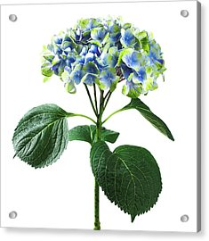 Hydrangea Flower And Soil Acidity Acrylic Print by Science Photo Library
