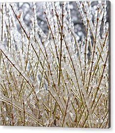 Ice On Branches Acrylic Print by Blink Images