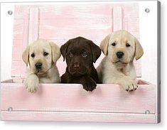 Labrador Retriever Puppies Acrylic Print by John Daniels