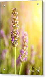 Lavender Flowers Acrylic Print by Carlos Caetano
