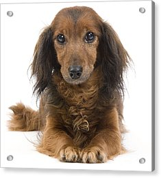 Long-haired Dachshund Acrylic Print by Jean-Michel Labat