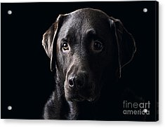 Low Key Chocolate Labrador Acrylic Print by Justin Paget