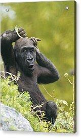 Lowland Gorilla Acrylic Print by Art Wolfe