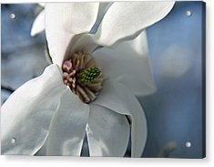 Magnolia In Watercolor Acrylic Print by Carolyn Stagger Cokley