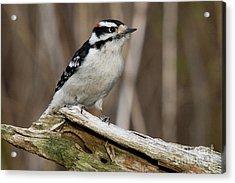Male Hairy Woodpecker Acrylic Print by Linda Freshwaters Arndt