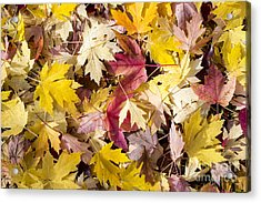 Maple Leaves Acrylic Print by Steven Ralser