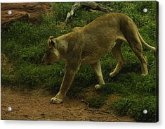 On The Prowl Acrylic Print by Lindy Spencer
