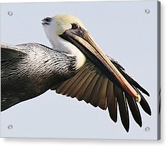 Pelican Up Close Acrylic Print by Paulette Thomas