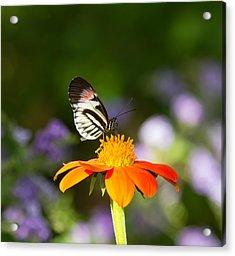 Piano Key Butterfly Acrylic Print by Kim Hojnacki