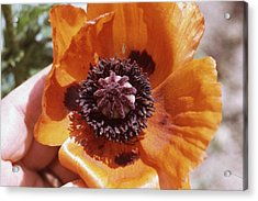 Poppy Flower Acrylic Print by Retro Images Archive