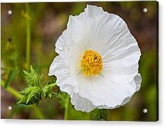 Prickly Poppy Acrylic Print by Mark Weaver