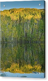 Quaking Aspen (populus Tremuloides Acrylic Print by Howie Garber