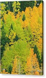 Quaking Aspens In A Fall Glow Acrylic Print by Maresa Pryor
