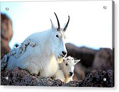 Rocky Mountain Goats 2 Acrylic Print by OLenaArt Lena Owens