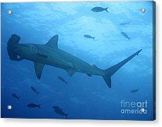 Scalloped Hammerhead Sharks Acrylic Print by Sami Sarkis