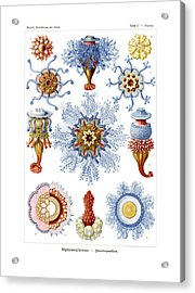 Siphonophorae Acrylic Print by Ernst Haeckel