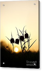 Snakes Head Fritillary Flowers At Sunset Acrylic Print by Tim Gainey