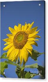 Sunny Day Acrylic Print by Alana Ranney