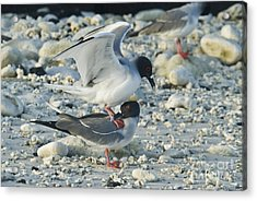 Swallow-tailed Gulls Mating Acrylic Print by William H. Mullins