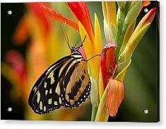 The Postman Butterfly Acrylic Print by Saija  Lehtonen